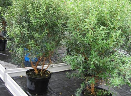 Fleurs cultivées : Myrte