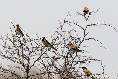 Grand Moineau (Great Sparrow)