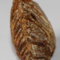 Coque fossilisée n°1