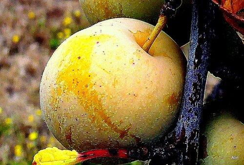 Les bonnes prunes !