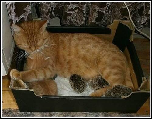 Une chatte adopte des bébés hérissons