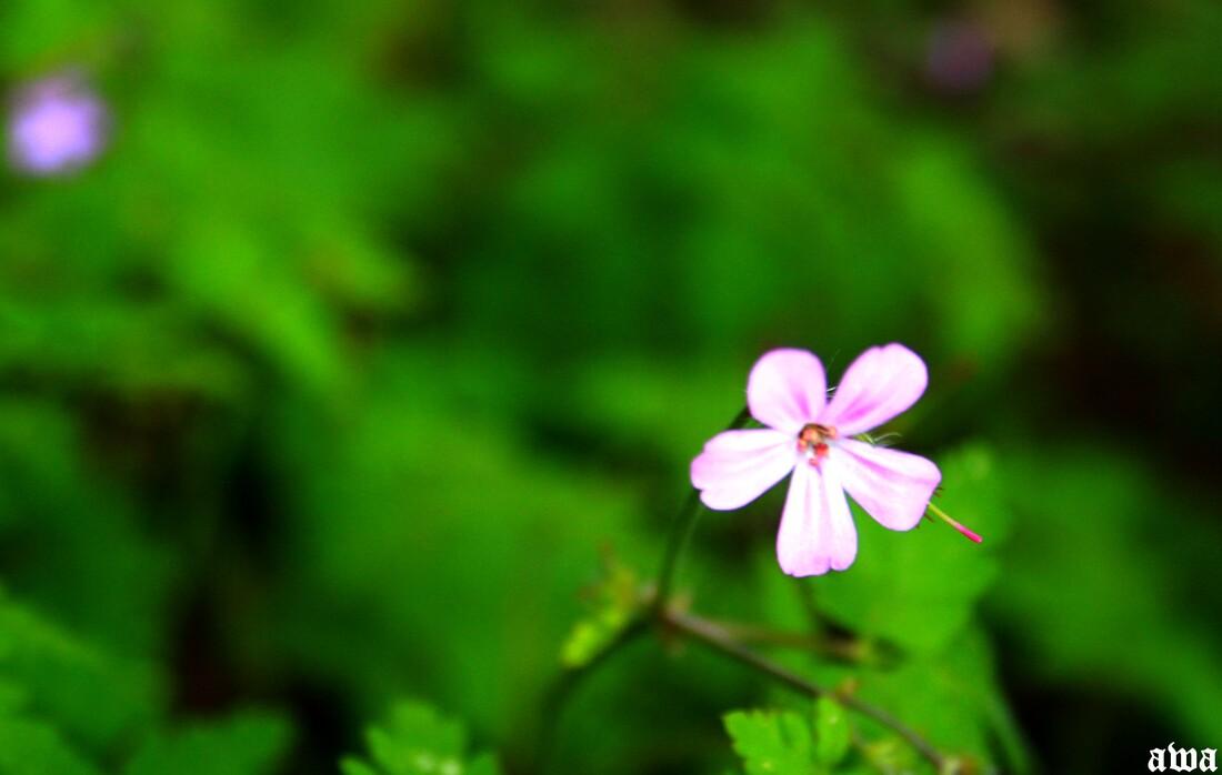 Fleurs sauvages, fleurs cultivées : et le MUGUET