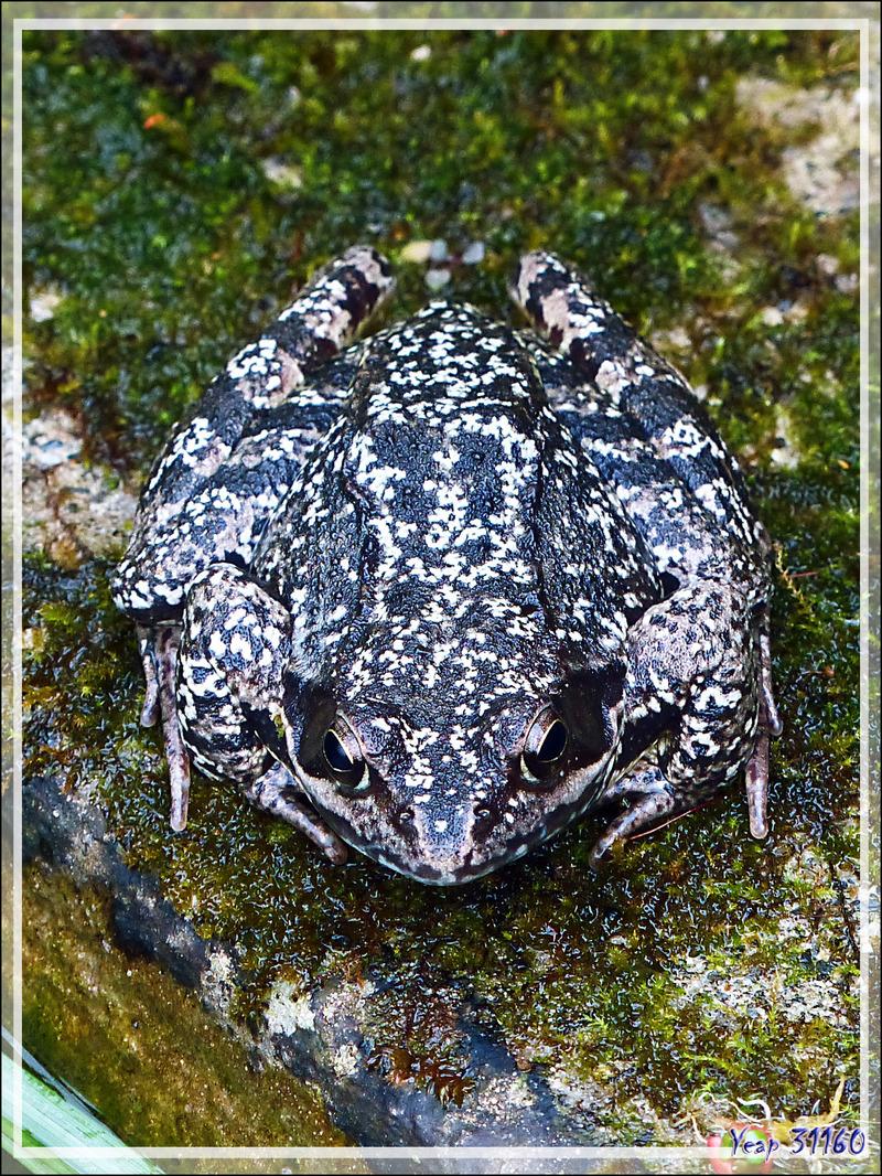 Très belle Grenouille rousse (Rana temporaria) - Lartigau - Milhas - 31
