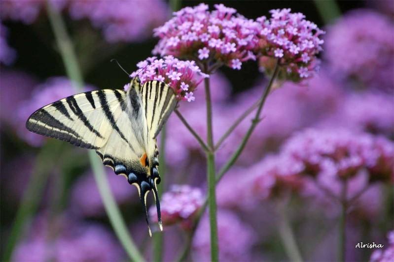 Papillon Flambé