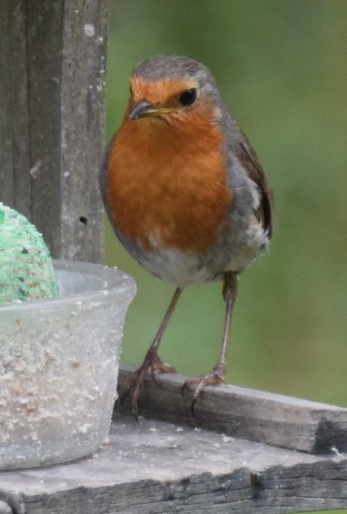 Les oiseaux de mon jardin : le rouge-gorge, été 2017...