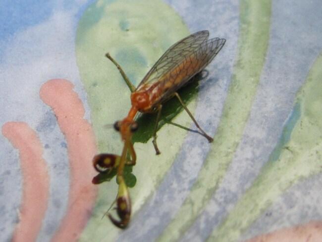 Fausse petite mante, Mantispa styriaca (Neuroptère)