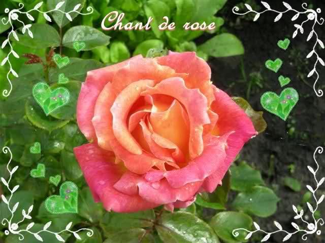 Chant de rose