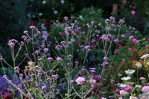 Des compagnes pour mes roses : Verbena bonariensis
