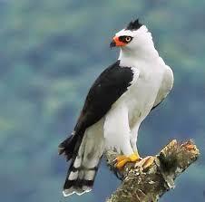 L'aigle au ventre blanc ...