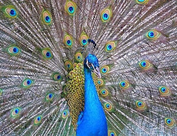paon-bleue1.jpg