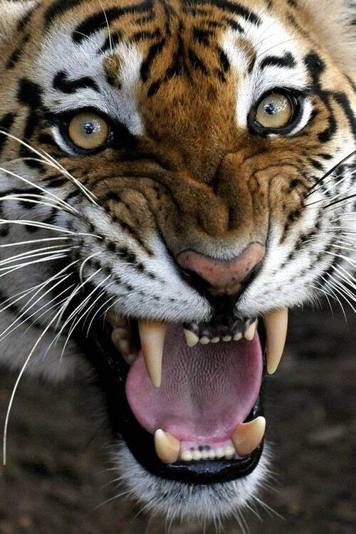 Attention danger ! le Tigre