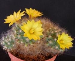 Cactées en fleurs 2e semaine de Mai