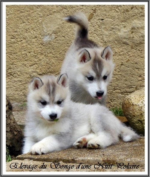Groupe chiots Huskys (55j)
