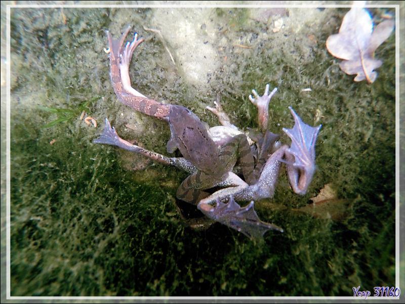 """Partouze de grenouilles rousses ou """"Partie de jambes en l'air"""" - Lartigau - Milhas - 31"""