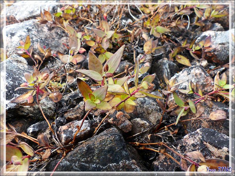 Épilobes à feuilles larges (Chamerion latifolium) - Fort Ross - Somerset Island - Nunavut - Canada