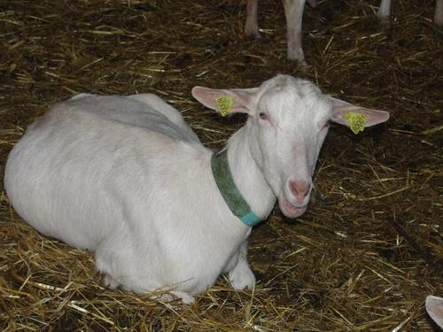 La Corne Vaudrille, un élevage caprin de Savoisy