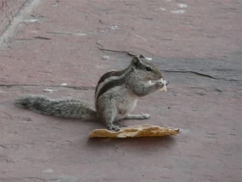 un écureuil de Corée