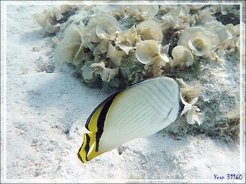 Poisson-papillon vagabond, Vagabond butterflufish or Crisscross butterflyfish (Chaetodon vagabundus) - Moorea - Polynésie française