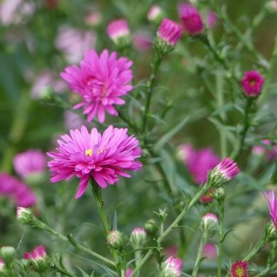 Mi septembre blanc bleu rose