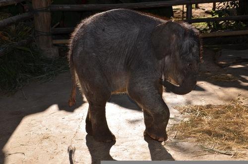 Un éléphanteau