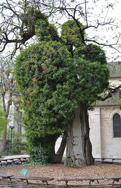 L'arbre le plus vieux de Paris (Square René Viviani-Montebello)