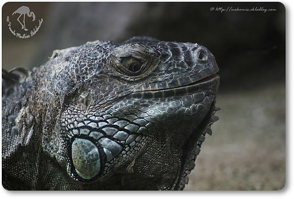 Iguane Vert - Iguana iguana