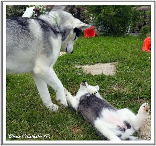 La vie à deux... Huskys (16 mai 2016)