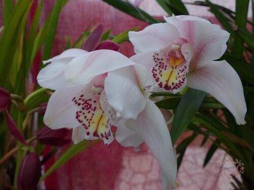 les floraisons des orchidées