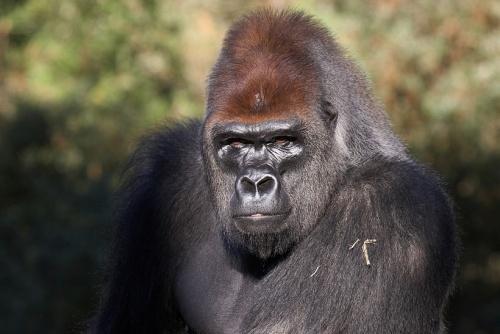 le gorille des plaines