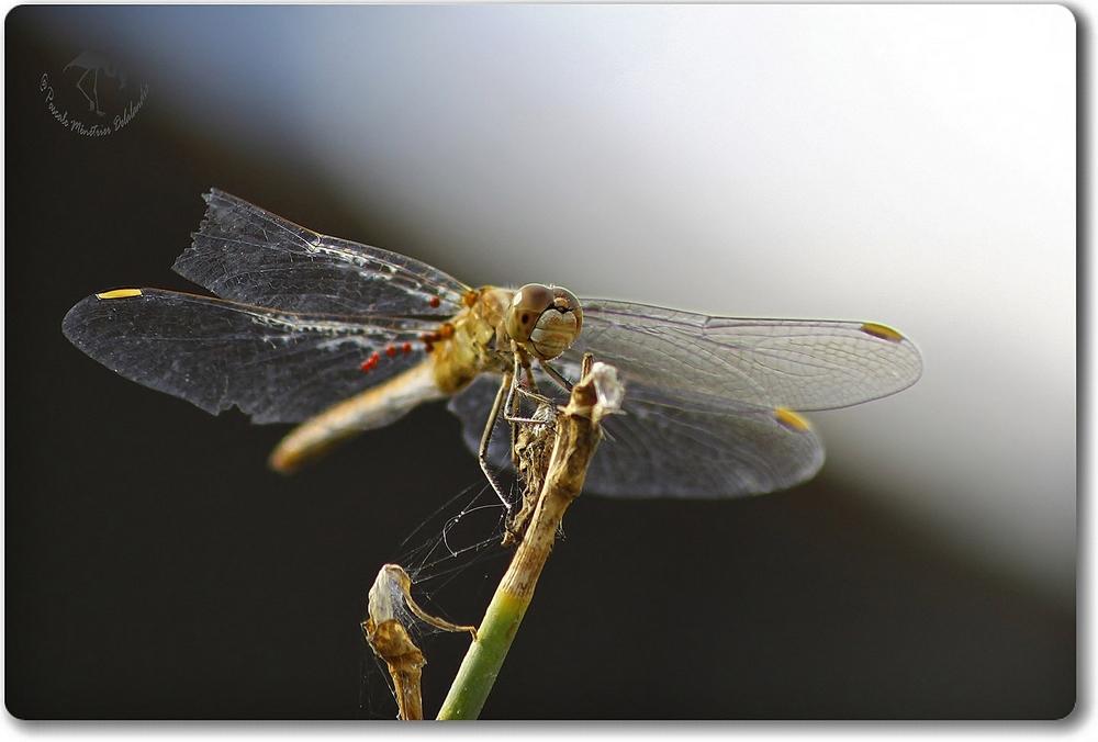 Sympétrum méridional (Sympetrum meridionale) femelle parasitée