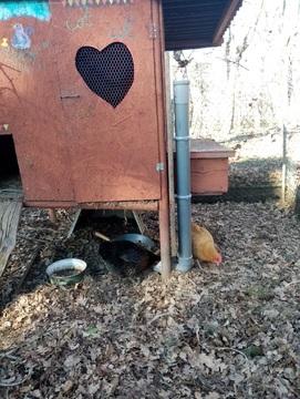 Un distributeur à graines pour les poules