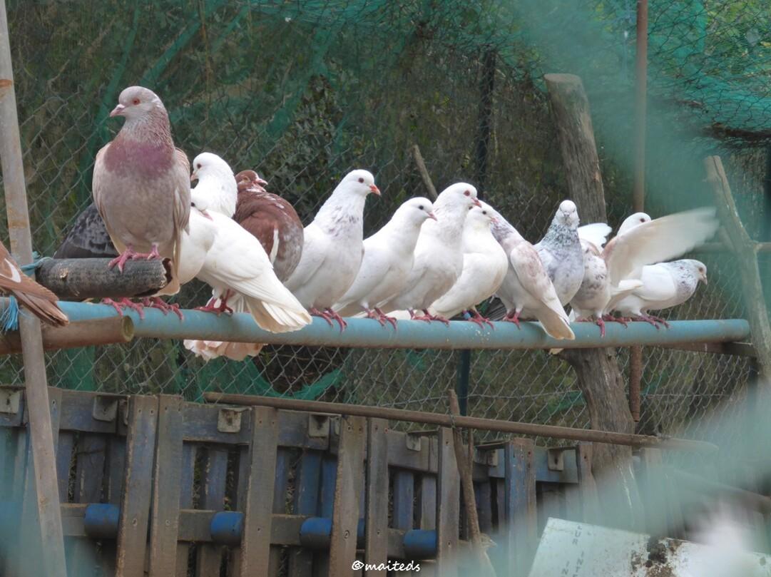 Passage par la basse-cour (fin) pigeons