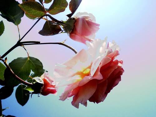 242 rose memorial