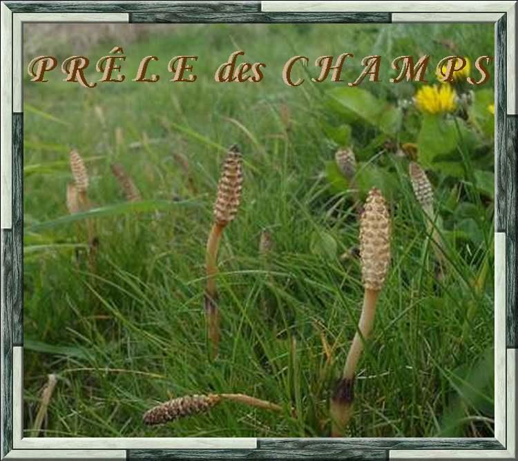 Vertus médicinales des plantes sauvages : Prêle des champs
