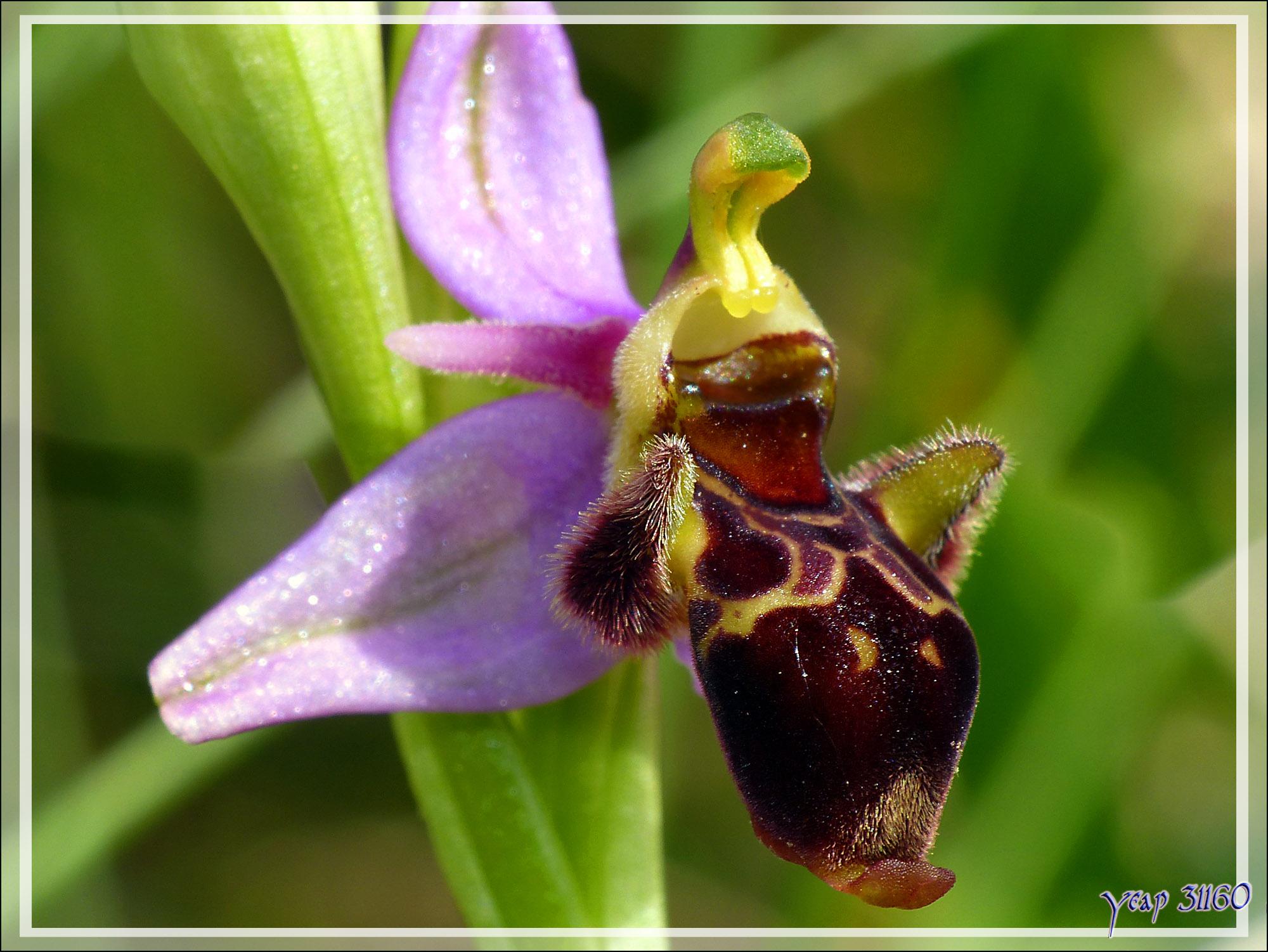 orchidee 31
