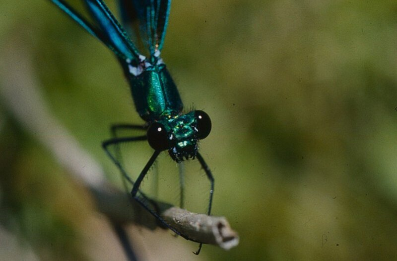 calopteryx-virgo-male-portrait.jpg