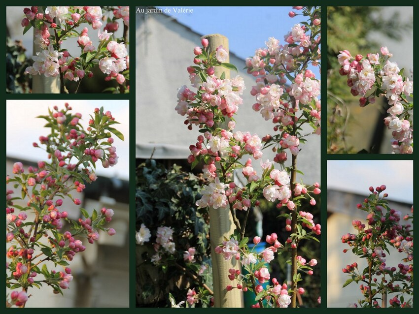 Malus perfection