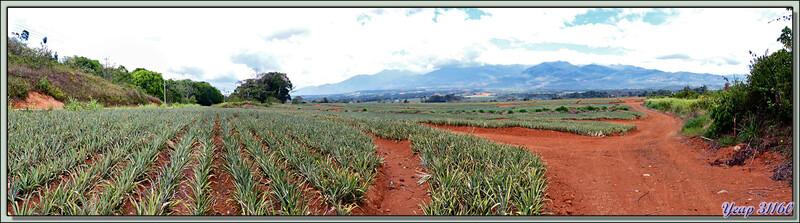 Paysage sur la route vers la péninsule d'Osa: plantation d'ananas - Costa Rica