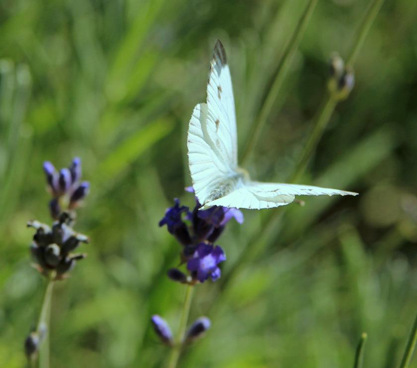 Vol blanc
