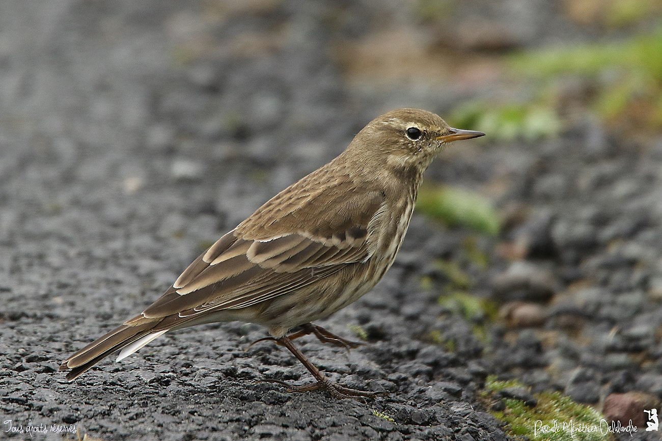 Pipit spioncelle -  Anthus spinoletta - Water Pipit