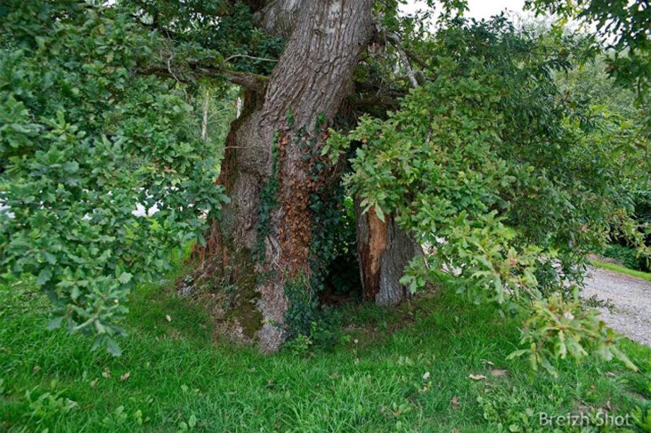 Chêne du Poulu - Saint-Jean Brévelay