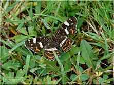 Papillons de jour La Carte GéographiqueArschnia levana