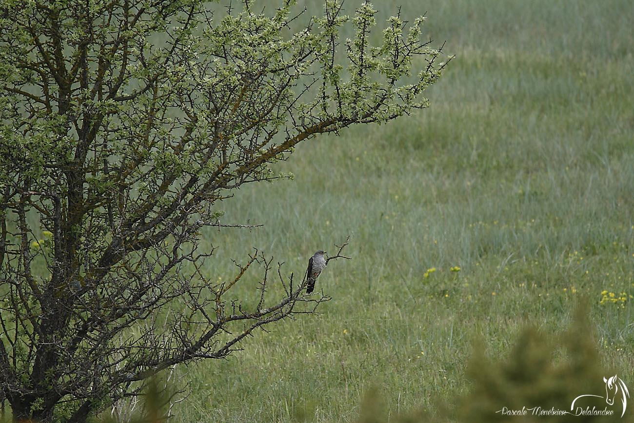 Coucou gris ♂