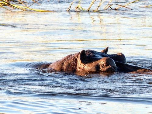 croisière sur le Zambèze; rencontre avec les hippopotames;