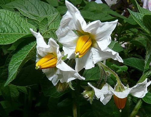 Fleurs-de-p-de-terre-10-05-05---026-copie-1.jpg
