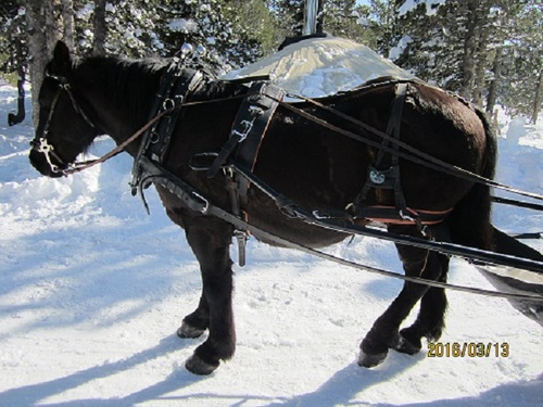 Le cheval de Mérens
