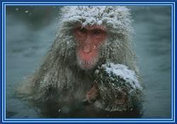 Les Singes des neiges