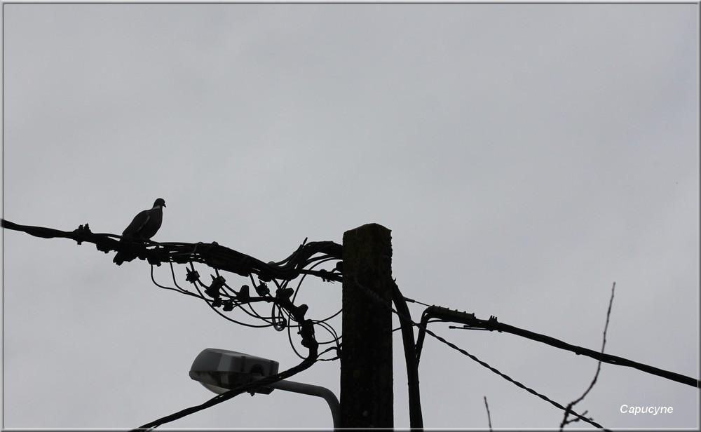 Photo de l'été 8 - Ramier sur un fil