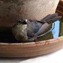 Merle au bain - Photo : Karin