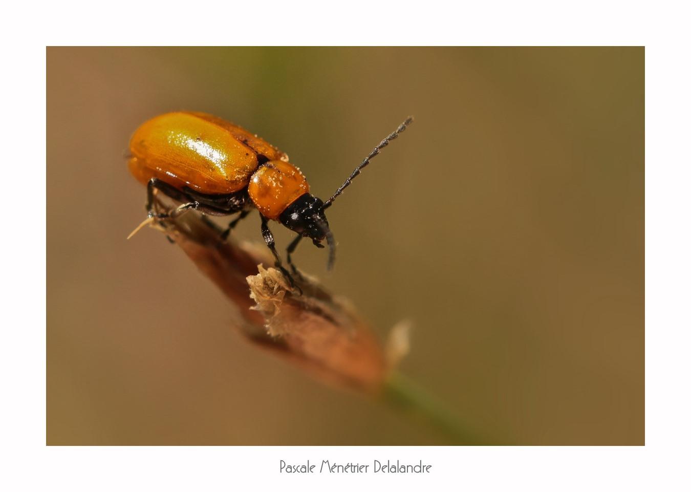 Lupérus portugais - Exosoma lusitanicum (Chrysomelidae)